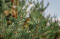 Pine grove. Thickets of young pine trees Royalty Free Stock Photo