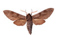 Pine Hawk-moth Stock Photography