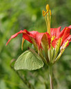 Pine Lily With Sulphur Butterfly Royalty Free Stock Photo