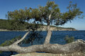 Pine lying horizontally on the mediterranean coast turkey Stock Photo