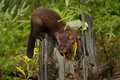 Pine marten american lurking from old tree stump Royalty Free Stock Photos