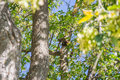 The pine marten forest among green leaves and branches of trees Royalty Free Stock Photo