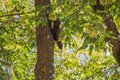 The pine marten forest among green leaves and branches of trees Royalty Free Stock Images