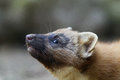 Pine marten martes martes portrait Stock Photos