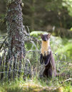 Pine marten scottish wild out looking for food Royalty Free Stock Photography