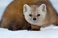 Pine marten in the snow looking intently at the camera Royalty Free Stock Photos