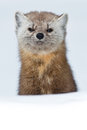 Pine marten standing up from behind a small hill looking at the camera Stock Photo