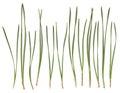 Pine needles isolated on white Royalty Free Stock Photo