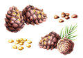 Pine nuts and lumps set. Watercolor illustration