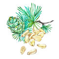 Pine nuts. Watercolor hand drawn illustration. Isolated on white background.