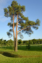 The pine ordinary grows in park summer Stock Photography