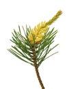 Pine (Pinus sylvestris) branch Royalty Free Stock Photo