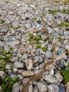 Pine Processionary Caterpillars Thaumetopoea pityocampa Royalty Free Stock Photo