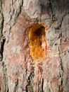 Pine Resin Hole Royalty Free Stock Photo