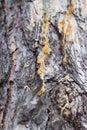 Pine resin Royalty Free Stock Photo
