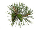Pine shoot with two cones Royalty Free Stock Photos