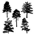 Pine silhouette at the white background Royalty Free Stock Image