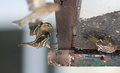 Pine Siskin finches (Carduelis pinus) - in spring competing for space and food at a feeder in a northern Ontario woods. Royalty Free Stock Photo
