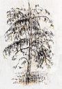 Pine sketch by pastel high with sprawling branches Royalty Free Stock Photo