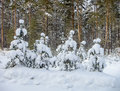 Pine after snowfall beautiful picture of young trees a heavy Royalty Free Stock Image