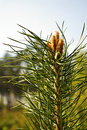 Pine sprig Stock Photography