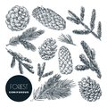 Pine and spruce tree branches and cones set. Vector sketch hand drawn illustration. Christmas, New Year design elements Royalty Free Stock Photo