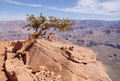 Pine struggling to survive in the grand canyon usa Royalty Free Stock Photos