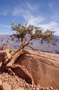 Pine struggling to survive in the grand canyon usa Royalty Free Stock Photography