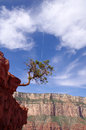 Pine struggling to survive in the grand canyon usa Stock Image