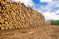 Pine timber stacked Stock Image