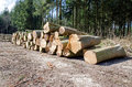 Pine timber stacked at lumber yard logs woodpile Royalty Free Stock Photo