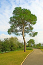 Pine tree Stock Photography