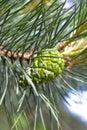 Pine tree acorn Royalty Free Stock Photos