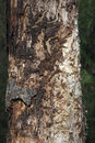 Pine tree affected by bark beetle Royalty Free Stock Photo