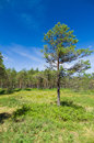 Pine tree against blue sky Royalty Free Stock Photo