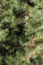 Pine Tree Background Royalty Free Stock Photos