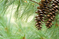 Pine Tree Background Stock Photo