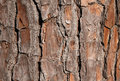 Pine Tree Bark for Background Stock Photography