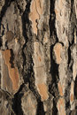 Pine tree bark close-up texture Stock Photo