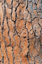 Pine-tree bark texture background Stock Image