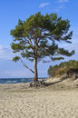Pine-tree on the beach Royalty Free Stock Photo