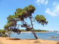 Pine tree with beach Royalty Free Stock Photo