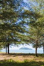 Pine tree on the beach Royalty Free Stock Photo