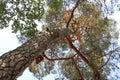 Pine tree from beneath
