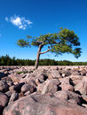 Pine tree in boulder field a rises above boulders the pocono mountains of pennsylvania vertical Royalty Free Stock Image
