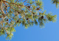 Pine tree branch above blue clear sky background Royalty Free Stock Photography