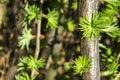 Pine tree branch. Blooming Pine Tree and pine needles