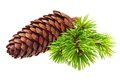 Pine tree branch with cone isolated on white Stock Images