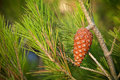 Pine tree branch with cone macro photo Stock Images
