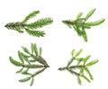 Pine tree branch. Royalty Free Stock Photo